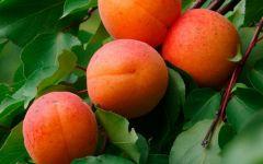 Как вырастить абрикос: секреты посадки и ухода