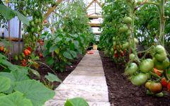 Как вырастить томаты в теплице, выращивание помидоров в теплице без хлопот.