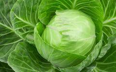 Как вырастить белокочанную капусту на своем огороде?