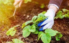 Уход за садовой земляникой с весны до осени