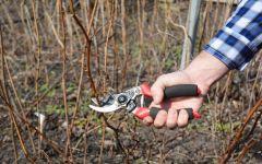 Как правильно обрезать малину – советы садоводам