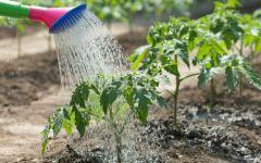 Особенности правильного полива огорода
