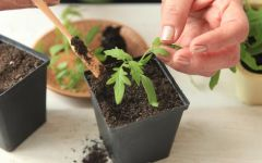 Экологически чистые помидоры. Как вырастить качественную рассаду в домашних условиях
