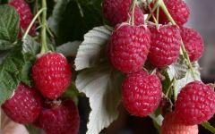 9 советов по уходу за ремонтантной малиной для получения богатого урожая