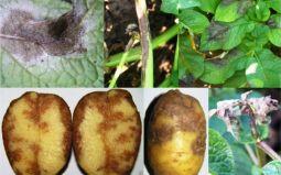 Какие болезни характерны для картофельной культуры? Методы лечения