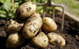 Тонкости выращивания картофеля: от посадки до сбора урожая
