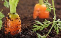 Морковь: выращиваем витаминный оранжевый овощ