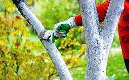 Сезонная побелка яблонь - необходимое условие правильного ухода.