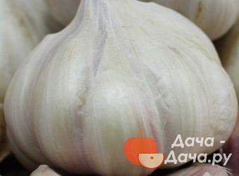 Чеснок озимый сорт Кавалер, фото 7