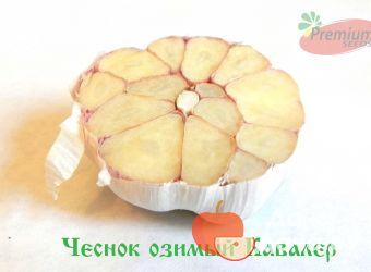 Чеснок озимый сорт Кавалер, фото 5