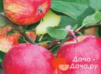Яблоня сорт Шушенское, фото 1