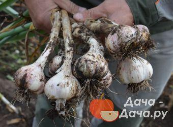 Чеснок озимый сорт Шадейка, фото 3
