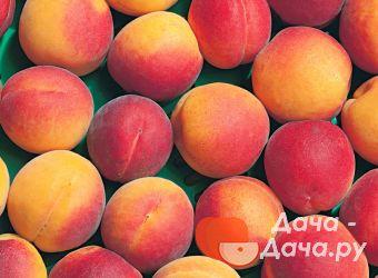 Абрикос сорт Краснощекий, фото 1