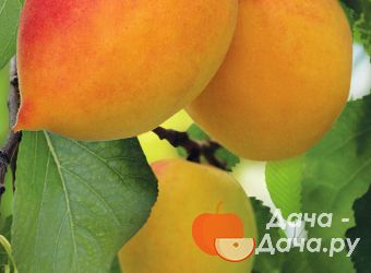 Абрикос сорт Академик, фото 1