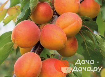 Абрикос сорт Амур, фото 1