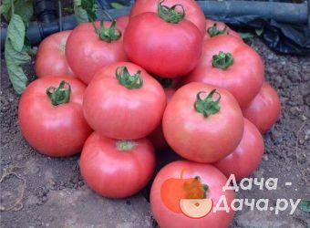 Томат пандароза описание и характеристика сорта урожайность с фото