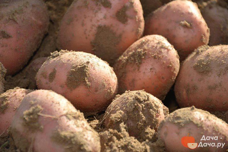 внешность хорошую сорт картофеля весна фото входом