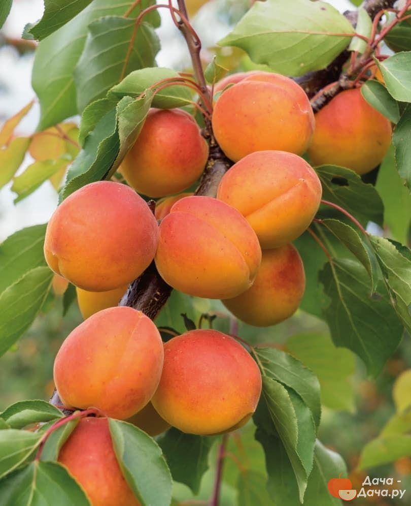 уверены, картинки сорта абрикоса можно